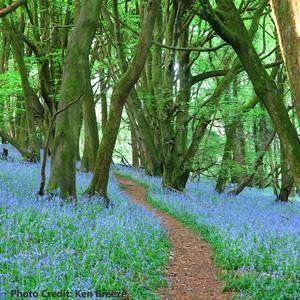 """Bluebell Woods"" by Ken Breeze"