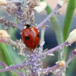 Ladybird and mealy cabbage aphids ©greensideup.ie Ladybirds are beneficial insects that are good predators of mealy cabbage aphids ©greensideup.ie